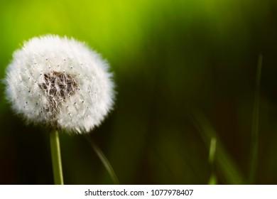 One dandelion over bright green grass background.