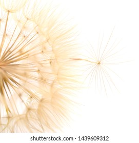 One dandelions with leaves isolated on white background.