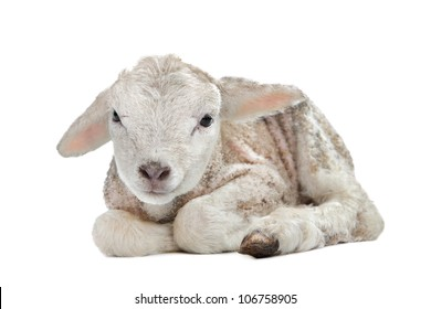 one day old Lamb in front of a white background