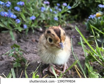 one day old pheasant chick in outdoor environments