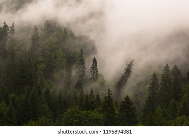 The One. The Different. Within a coniferous wood, one of the pines comes undone and bends down. On a misty background, the pine is distinctive through its oblique position.