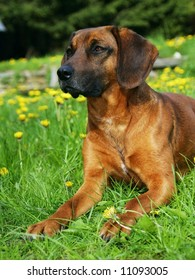 one dog in bloom meadow, pet