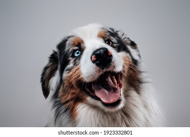 One dog only. Australian shepherd. Domestic pet and friend of human posing in white background.