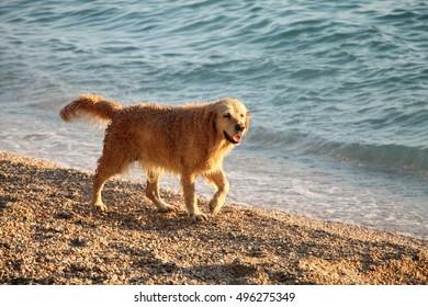 One dog walking on beach near Adriatic sea , Croatia