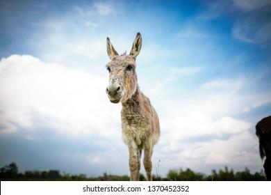 One donkey posing, outdoors
