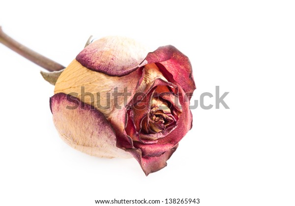 One dry red rose on white background.