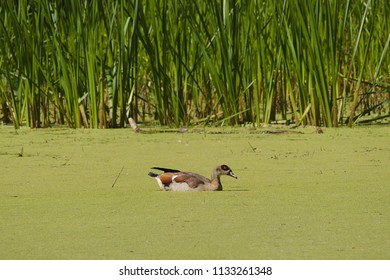 One duck swimming in a green lake with grass and reed