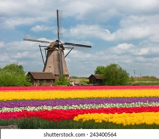 one dutch windmill over stripes of tulip flowers field in sunny day, Netherlands