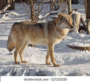 One Ear wolf in winter.