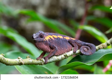 One earth-colored chameleon on a branch