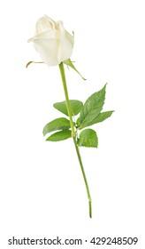 One elegant white rose on a long stem with green leaves isolated on white background, side view