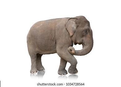 One elephant isolated on white background