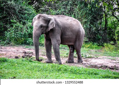 One Elephant walking near forest on mud and grass in nature park with bush, tree, male elephant not have ivory see penis, rare item wildlife in Asia