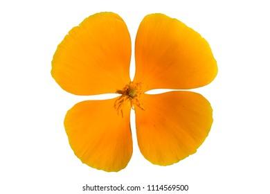 One eschscholzia California poppy orange flower isolated on white.