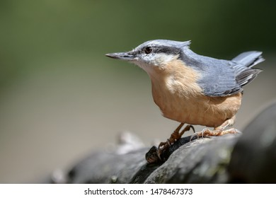 One eurasian nuthatch (Sitta europaea) in nature / Germany