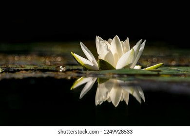 One European white water lily, white water rose or white nenuphar flower (Nymphaea alba) flower