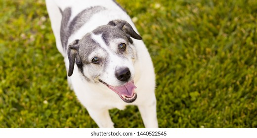 One excited and smiling Beagle and Fox Terrier mixed breed female dog looking at camera.