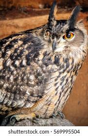 One eye eagle owl