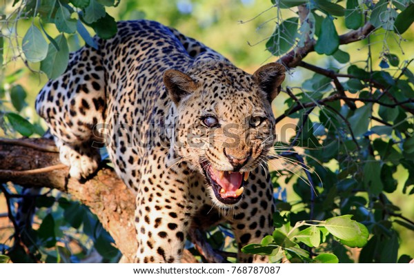 One Eyed angry  Leopard (Panthera Pardus) up a tree looking directly at camera snarling with mouth open and wrinkled muzzle. South Luangwa National Park, Zambia