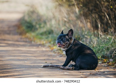 One eyed female French bulldog on the dirt road sitting next to the wood stick, portrait