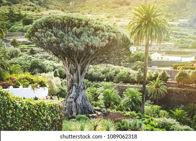 One of the famous attractions of Tenerife and natural symbols - ancient Dragon Tree (El Drago) in Parque del Drago in Icod de los Vinos.