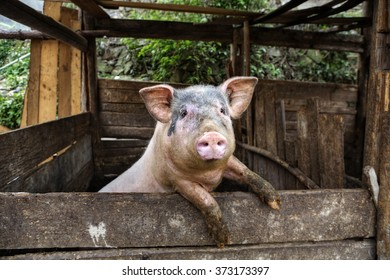 One filthy hog in manure,  dirty pig hanging on a fence.