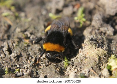 One of the first bumblebees of the year, sitting on the ground, warmed by the sun.