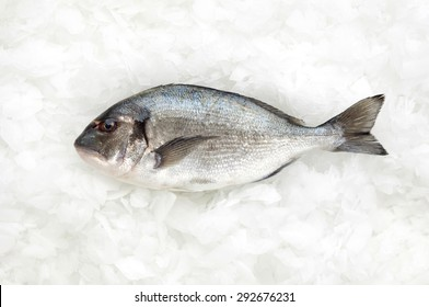 one fish called sparus aurata(gilt head bream) or dorade on ice