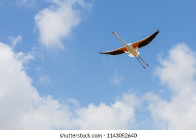 One Flamingo with spread wings in flight from below on blue sky in the ornithological park of Camargue, Provence, France