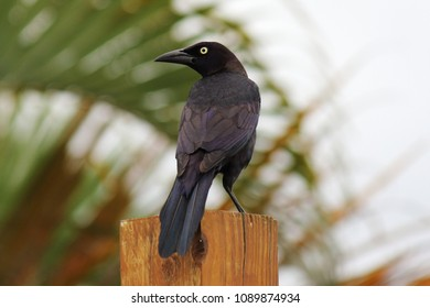 one Florida native black bird known as a common grackle on a post in a back yard in front of a coconut palm tree with a yellow eye and a black beak