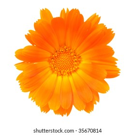 One flower of a calendula close up on a white background.