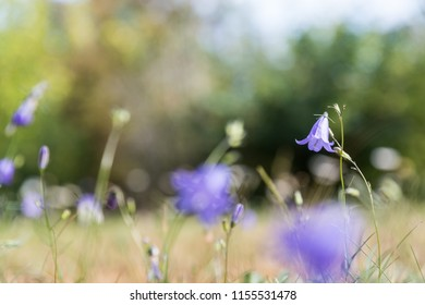 One focused bluebell flower in a field with lots of bluebells