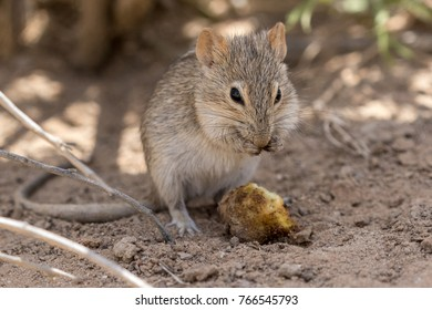 One four striped grass mouse busy eating in The Kgalagadi Transfrontier Park