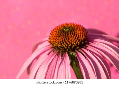 one fresh echinacea flower
