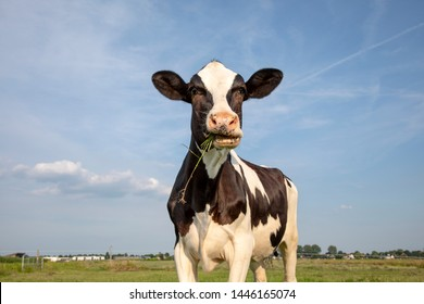 One funny black and white cow eating, chewing blades of grass, friesian holstein, standing in a pasture under a blue sky and a faraway straight horizon.