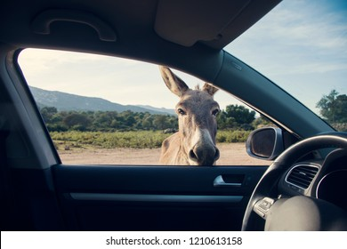 One funny donkey curiously looikng to the car