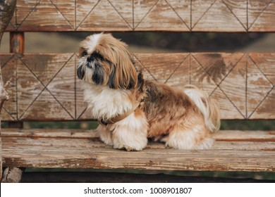 One funny shih-tzu puppy sitting on the wooden bench. Brown dog looking for something in the park.