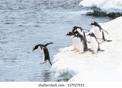 One gentoo penguin jumps into the water and his friends watch him do it