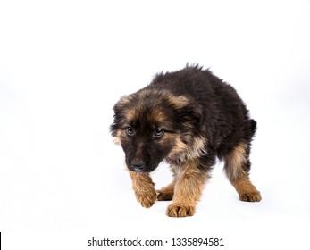 one german shepherd puppy wyth diseased legs, posing on a white background