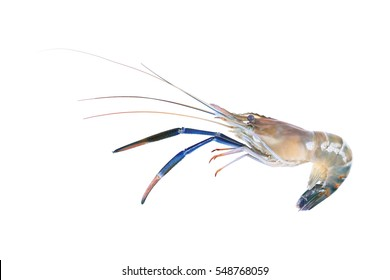 it is one giant freshwater prawn isolated on white.