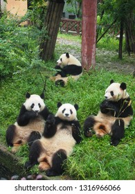 One giant panda eating alone, one giant panda looking and surprising a camera and other two pandas looked it
