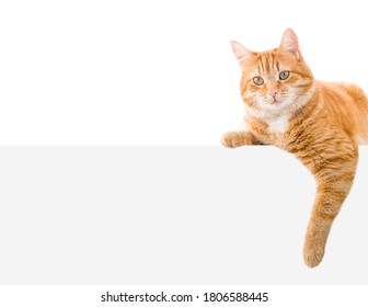 one ginger cat lies on the banner. isolated on white background