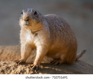 One gopher. Nice close up wildlife photography
