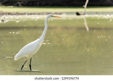 One great egret (Ardea alba), also known as the common egret, large egret