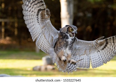 One great horn owl in the park