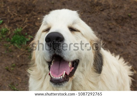 One Great Pyrenees dog appears to be laughing or smiling