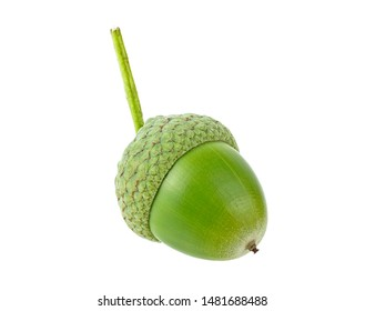 One green acorn on small branch, white background.