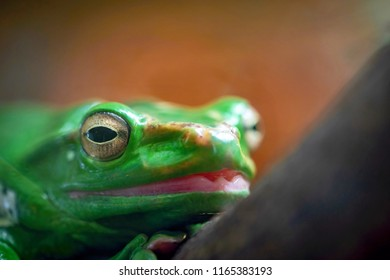 one green frog or toad with the big head and with big eyes closeup in the foreground