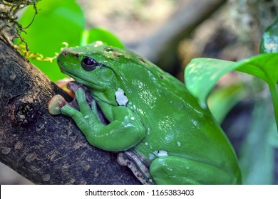 one green frog or toad closeup with big eyes sits on a tree trunk in the foreground without the movement
