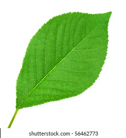 One green leaf of cherry-tree isolated on white background. Close-up. Studio photography.